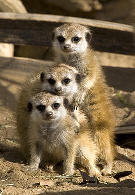 ss_meerkats