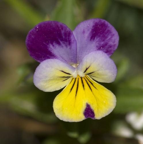 Wild Pansy (Viola tricolor)
