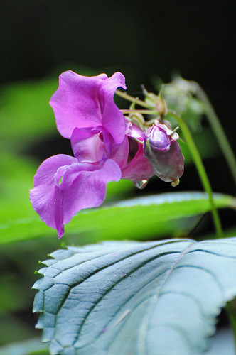 Himalayan Balsam, Impatiens glandulifera Flower with Water Drop