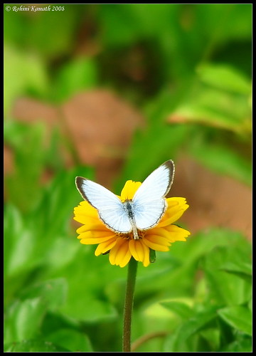 Common Blue Portrait