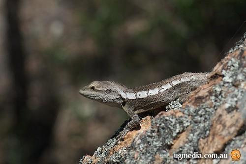 Jacky dragon (Amphibolurus muricatus)