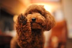 [フリー画像] [動物写真] [哺乳類] [イヌ科] [犬/イヌ] [子犬] [トイ・プードル]     [フリー素材]