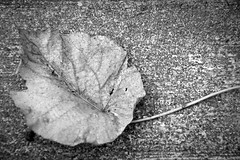 Post 49: Indifference (Justin Gaurav Murgai) Tags: autumn blackandwhite bw fall texture leaf dry fallen 365 joosday