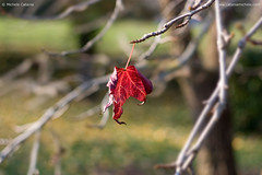 The Last Leaf Before Winter (Michele Catania) Tags: autumn winter leaves foglie last canon leaf bokeh before mf foglia rosso maf the sfocato abigfave michelecatania