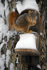 Snowy squirrel at Rosings Park (Dec 2008)