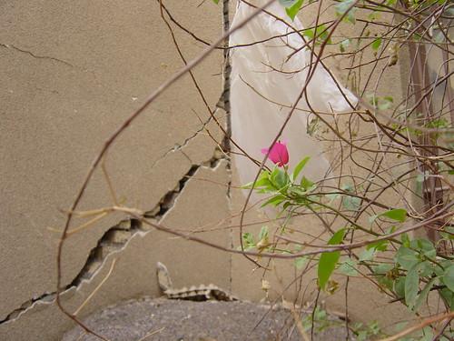 رویش گل پس از زلزله بم