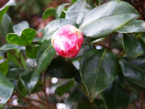 山茶花の蕾~乙宝寺