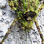 Moss Mimic Katydid thumbnail
