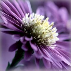 Saturdays demand Purple (Maureen F.) Tags: macro beauty canon bravo purple bokeh saturday 100mm f28 aster alemdagqualityonlyclub vosplusbellesphotos thetempleofaphrodite winnerbc