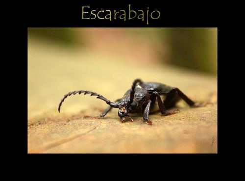 Escarabajo por bechubi.