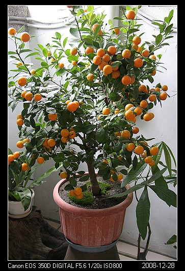 2009Green2桔子樹下的青苔