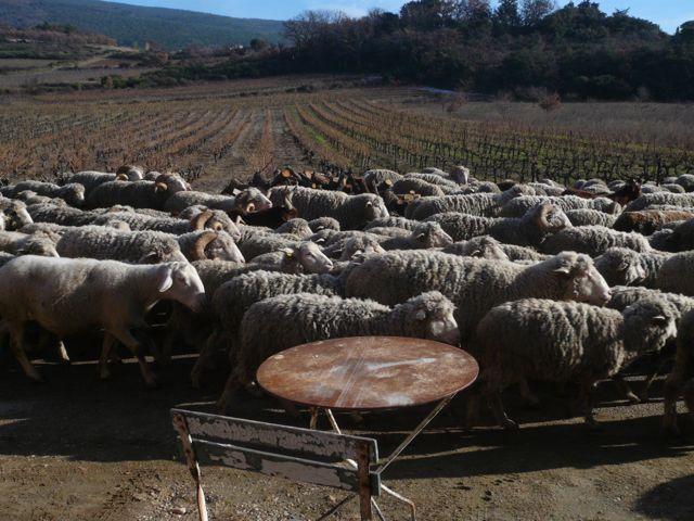 sheep rentrée