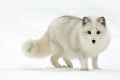 Arctic Fox (Stephen Oachs (ApertureAcademy.com)) Tags: winter snow cold wildlife fox arcticfox whitefox supershot specanimal bratanesque alemdagqualityonlyclub stephenoachs stephenoachscom