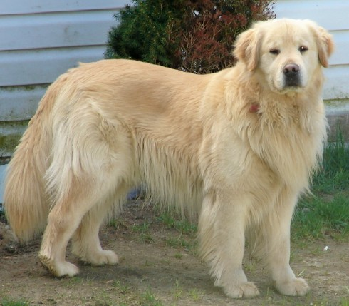 golden retriever dogs puppies. tattoo Golden Retriever dogs