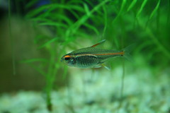 fish aquarium fishtank tropical tetra freshwater