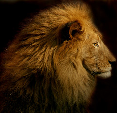 Profile of a King (tight crop) (MickiP65) Tags: california africa wild portrait usa male nature animal animals portraits mammal zoo la us losangeles eyes king wildlife lion exhibit creation socal lions mostinteresting northamerica lionel lazoo creatures creature mammals 2009 exhibits animalia mammalia mane attraction allrightsreserved attractions losangeleszoo carnivore zoos copyrighted africanlion panthera animalportrait carnivora animalportraits pantheraleo felidae chordata kingofthebeasts canoneos30d panteraleo pleo michellepearson 012509 01252009 jan2502009