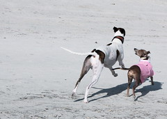 A Happy End... (Dada Mar) Tags: pink greyhound beach dogs happy play running whippet explore tails italiangreyhound wagging galgos thelittledoglaughed