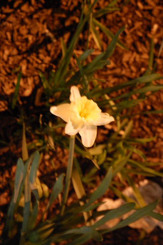 Village Daffodil