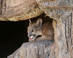 Cougar (o-rusty-nail) Tags: naturegroup bej onephoto mywinners mywinner crazyaboutnature theperfectphotogrspher photographersgonewild picturesinternational worldnaturewildlifecloseups natureisallallisnature nationalgeographhic holycreationsofnature natureiswonderfull universeofnature