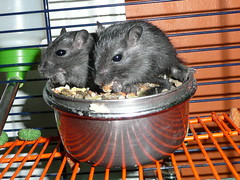 2 baby gerbils (Pete....) Tags: baby gerbil