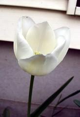 Tulip_42510