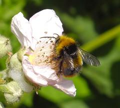 Bee on a wildflower! (soulman53) Tags: england macro spring brighton pentax may bluesky bee wildflower 2011