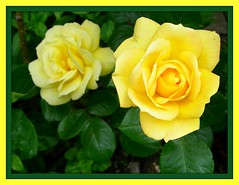 Yellow Rose (davidwharton599) Tags: pink plants rose yellow double daffodil camelia picnik headed