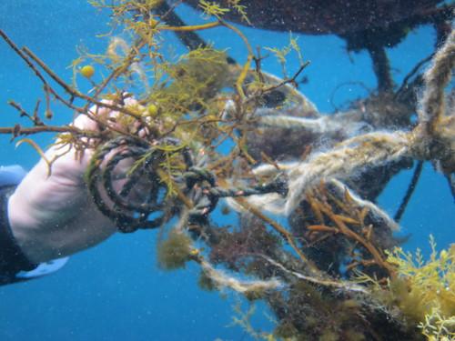 ハナオコゼ、がいた流れ藻