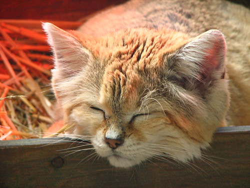 Sand Cat Napping