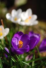 Krokus (Carnifex) Tags: flower fleur crocus blume 2008 mrz krokus carnifex