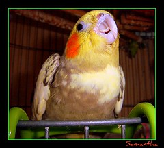 "My gorgeous Australian Parrot ""Georgy"" smiling for the camera... (Photography by Samantha) Tags: portrait orange pet colour cute bird birdcage beautiful yellow happy interesting wings eyes singing beek creative feathers cheeks soe breathtaking picnik cockateil blueribbonwinner femalebird australianparrot tamebird platinumphoto diamondclassphotographer flickrdiamond tameloving lovingbird"