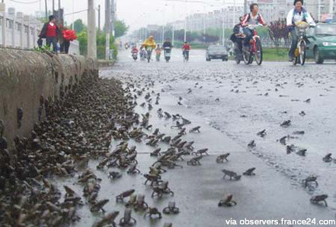 Toads make getaway before Sichuan quake.