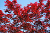Red Maple in Summer