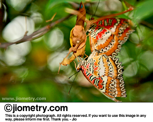 Mating Leopard Lacewing butterflies