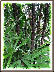 Leaves and canes (including an exposed cane) of Rhapis excelsa (Lady Palm)