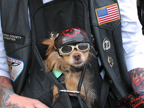 Biker Dog decked out