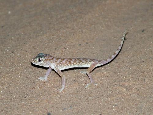 stenodactylus_doriae