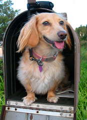 Someone just got Honey in the Mail (Doxieone) Tags: pink dog cute green english church tongue mailbox interestingness long charlotte cream northcarolina dachshund stamp explore honey final blonde exploreinterestingness leash haired coll 1002 longhaired final1 honeydog topfavorite explored englishcream honeyset