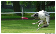 TOLD YOU I'LL CATCH IT !! (AL-SHAIJY) Tags: dog dogs republic dish czech to kuwait  hamad throw throwing q8 nymburk    diec        alshaijy    diecdog