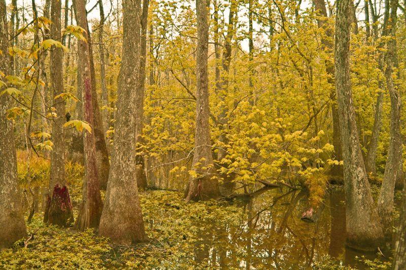 Bluebonnet Swamp