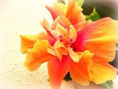 burst. (j'adore justine.) Tags: pink orange flower yellow hawaii colorful bright maui burst