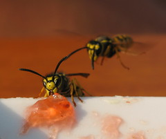 wasps - having a jam session (**MIKA**) Tags: