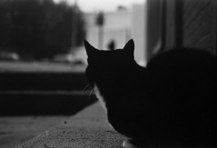 Downtown Cat (naturezoom) Tags: blackandwhite bw canada film animal silhouette cat newfoundland mammal feline downtown 2000 stjohns pentaxk1000 laurapenney naturezoom warmemerial