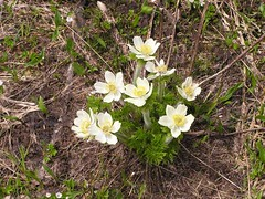 Western Anemone in bloom