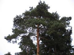 Medis (juokas) Tags: nature gamta