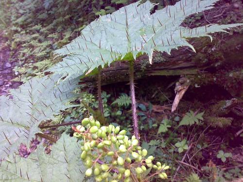 蓼科に行ったときに見た植物。葉の裏にもトゲがあった。これなに?