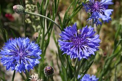 Bachelor's button AKA Cornflowers (Centaurea cyanus) (CatChanel) Tags: cornflower blueflowers cornflowers bachelorsbutton centaureacyanus