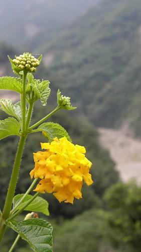 79.黃花與曾文溪谷