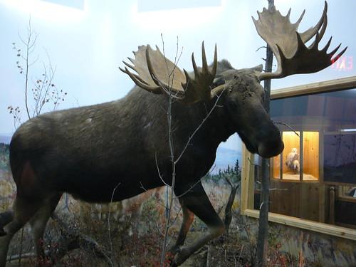 Alce o Moose
