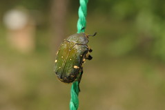 (xosk) Tags: insect   cetonia flowerchafer